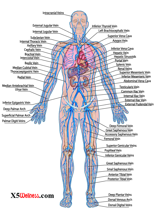 human body systems [with photos], Human Body